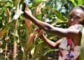 Nancy Wawira stands among ripening maize cobs of high yielding, drought-tolerant maize varieties on a demonstration farm in Embu County, Kenya - Bizna Kenya